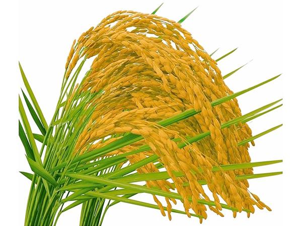 2016年第一季度,我国稻谷整体呈现稳中偏强态势,局部地区小幅下跌。主要原因是在以国储收购为主导的原粮市场,稻价不易回落。同时临近收购末期,部分产区稻谷收购标准有所放宽,加速了稻价上行的速度。截止到2016年2月29日2015年度中晚稻最低收购价收购工作全面结束。政策执行期内,先后有9个省启动中晚稻托市收购,累计完成收购303万吨。其中,中晚籼稻1019万吨,同比增加50万吨;粳稻2014万吨,同比增加175万吨。原粮市场进入三月份后,国内气温逐渐升高,受收割期遭遇极端天气、降雨加降雪影响,湘赣两省所
